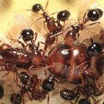 Fire ant queen is surrounded by other ants in this lab photo taken by Roberto Pereira of the University of Tennessee Institute of Agriculture.