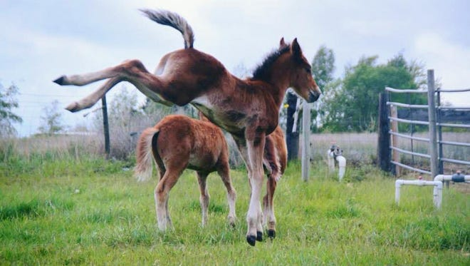 Rescue foals at Kidznhorses Outreach in Selah, Wash., are provided quality nutrition and care after losing their mothers. Because of the team's dedication, nearly 50 foals are rescued and adopted to forever homes each year.