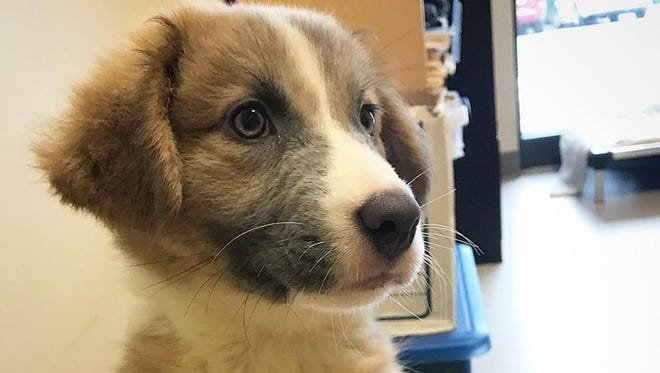 Violet is a Great Pyrenees/Australian Shepherd mix that needs a home.