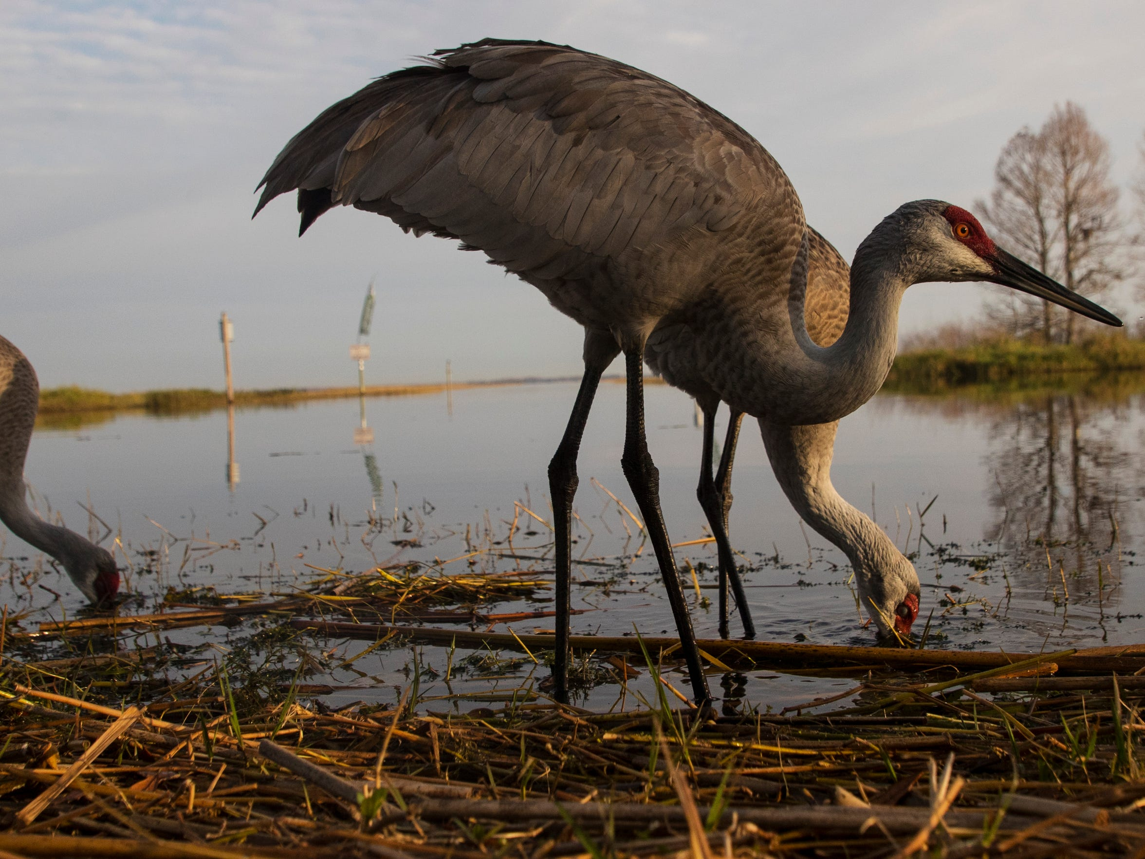 Sandhill cranes feed on the south end of Lake Tohopekaliga at Boggy Creek Outfitters in early February of this year. Wildlife, especially birds is abundant along the Kissimmee River and chain of lakes.