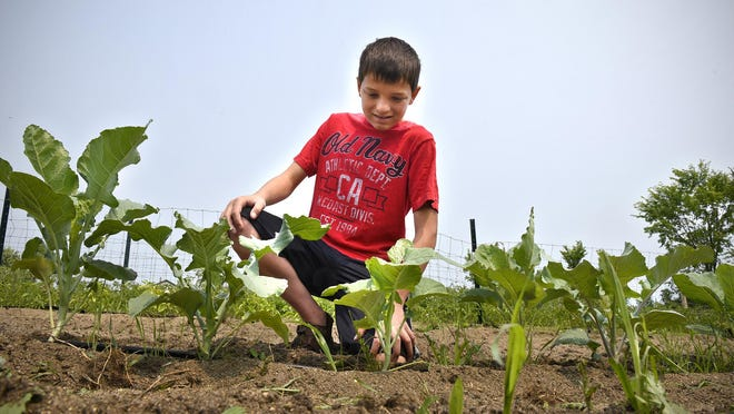 Austin Maile checks on some plants July 1 in his garden south of Avon. Maile, who is 13 years old, operates Austin's Acres, a farmers market stand that offers vegetables, jellies, soups and sauces.