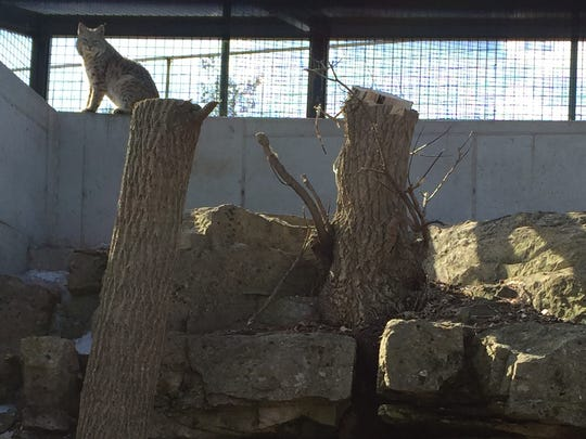 A bobcat peers down from the upper left in its new home at Bruemmer Park Zoo in Kewaunee. A party will be held Sunday to celebrate the opening of the enclosure, which is twice the size of the cats' previous space.