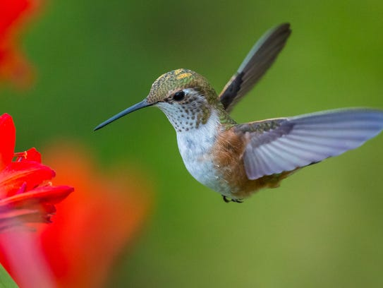 Barfield Crescent Park is home to hundreds of hummingbirds.