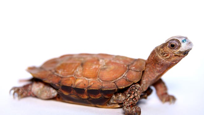 "Black-breasted leaf turtle ""Patches"" is photographed at Zoo Knoxville. The female turtle was treated at the University of Tennessee College of Veterinary Medicine, where the medical team placed a 3-D printed resin plate and screw on her head to cover a hole."