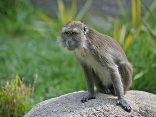 Long-tailed Macaques are seen at the Indianapolis Zoo,
