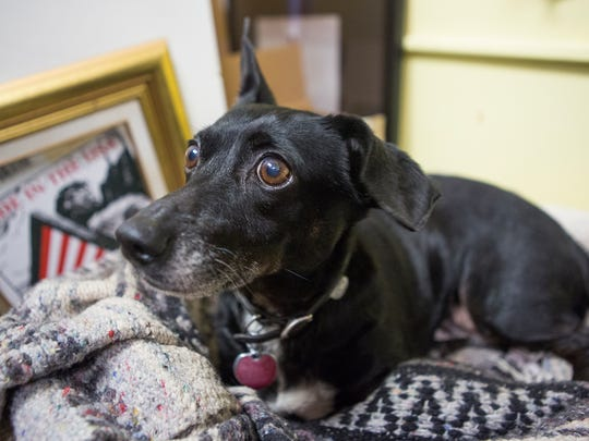 Psalter, a nine or 10 year old Dachshund, lays down