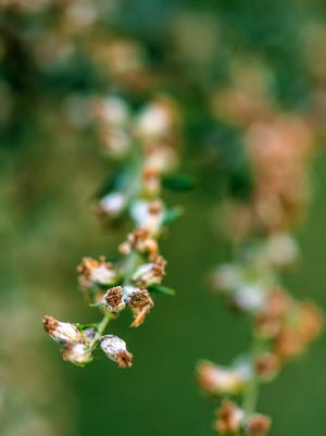 Ragweed or ambrosia plant, its pollen is notorious for causing allergic reactions in humans, selective focus
