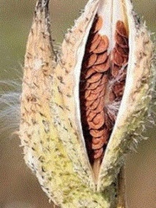 common-milkweed-pods.jpg