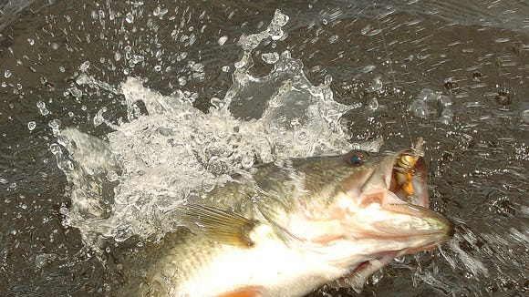 Barnett largemouth are fat and happy according to biologist.