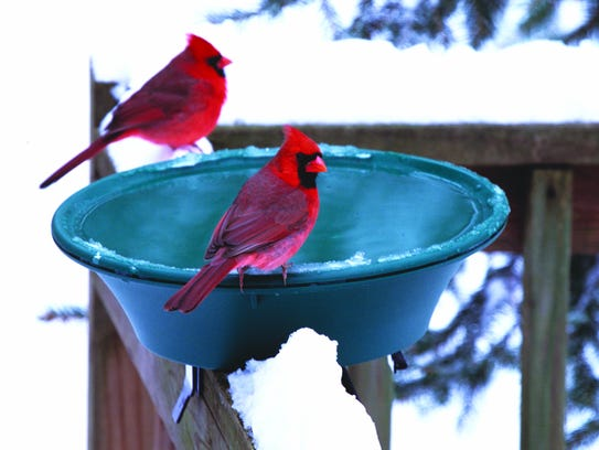 Birds will flock to a heated bird bath to hydrate and