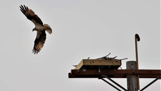 In search of food, an adult osprey takes flight.