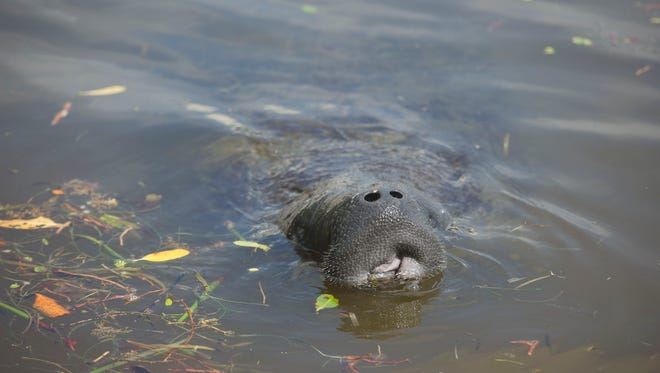 """Male manatees surround a single female, nicknamed Pearl, on Sunday, Sept. 24, 2017 in the Indian River Lagoon in Fort Pierce. """"We named her Pearl,"""" said Little Jim Bait & Tackle owner Rita King, of Fort Pierce, who intervened to help a beached manatee near her shop. """"I didn't want to see it die here,"""" King said, who called the Florida Fish and Wildlife Conservation Commission on Friday after noticing at least 20 male manatees surrounding the female. With the help of FWC veterinarians and the Coast Guard, King was able to see Pearl return to the water by Sunday."""