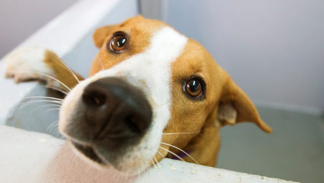Need a dog to dine with? Penny, a 1-year-old female, is up for adoption at the Gulf Coast Humane Society in Fort Myers.