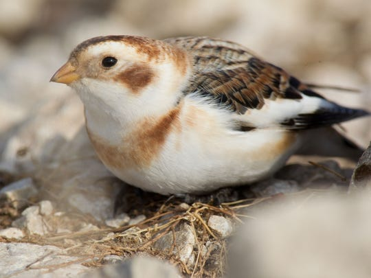A  snow bunting is a rare visitor in Missouri during