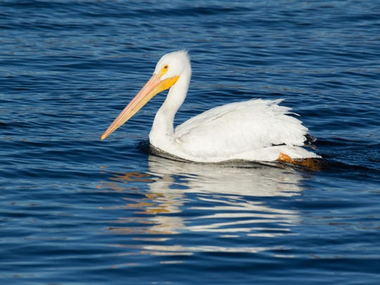 From late March to early May is generally the peak time to see American white pelicans migrate through the Ozarks.
