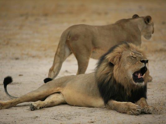 ZIMBABWE-US-CONSERVATION-ANIMAL-LION