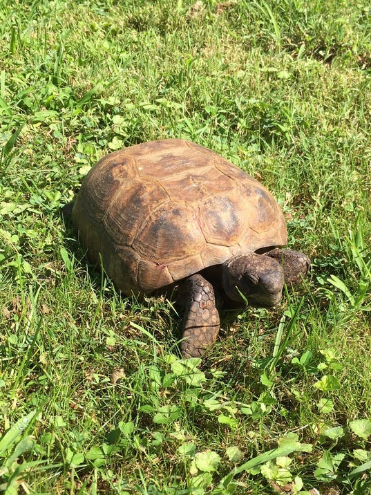 636372010213440560-Sheldon-tortoise.JPG