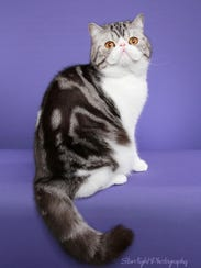 This Exotic Shorthair named Ashlin Zots Thenardier