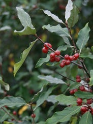 STC 0727 Autumn Olive.jpg