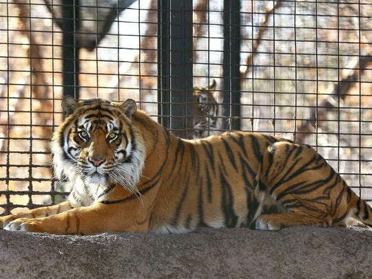 The Topeka Capital-Journal reports that the incident happened around 9:30 a.m. Saturday when a Sumatran tiger named Sanjiv attacked the worker in a secured, indoor space.