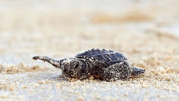 Endangered Kemp's ridley sea turtle nesting activity heats up on Corpus Christi beaches
