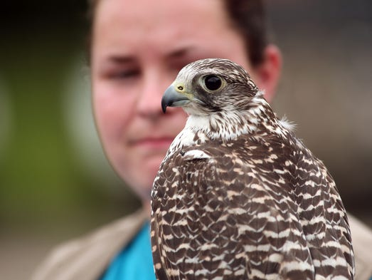 Falconer Elizabeth Hensel of Jackson with Isabella, a Gyr-Saker Hybrid falcon at the Monmouth County Reclamation Center in Tinton Falls where their $450,000 initiative falcon program rids the landfill of gulls that otherwise have flocked to the county landfill, June 10, 2014, Tinton Falls, NJ. Photo by Bob Karp