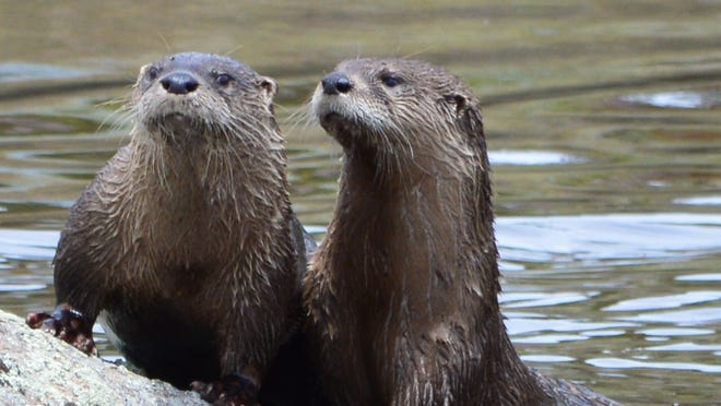 We were entertained by these 2 otters at our Red Feather cabin. They came in, ate fish, and played for a couple of hours before moving on.  They made our day!