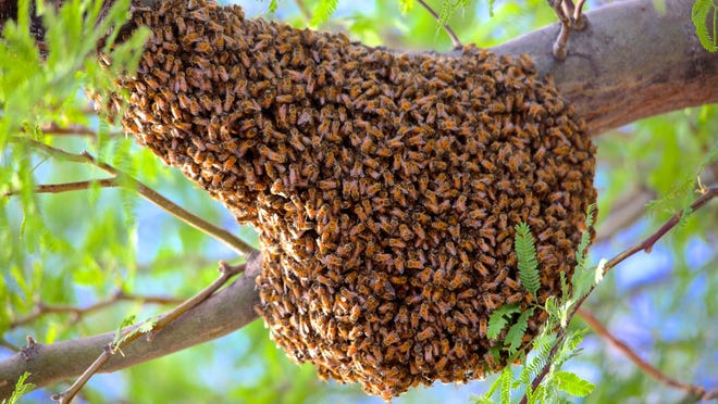 Yikes! Joni Dean of Oro Valley went outside in her front yard and found this swarm of bees in her ironwood tree. See more of her photos at instagram.com/azjoni.