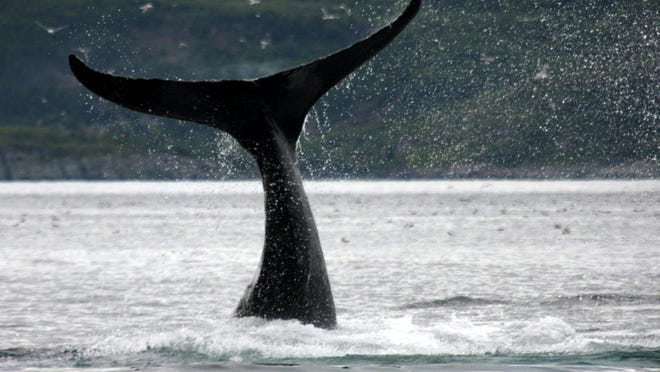 A whale's tail flaps above the water off the coast of Newfoundland?s Avalon Peninsula.