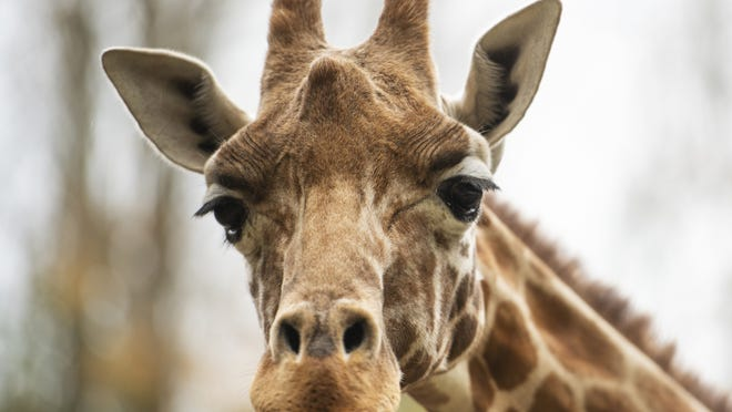 MENDON - A giraffe at Southwick's Zoo looks at a visitor Monday. The zoo offers a drive-thru safari experience from 11 a.m. to 4 p.m. Mondays and Wednesdays. A walk through the zoo is offered on Tuesdays, Thursdays, Saturdays and Sundays.