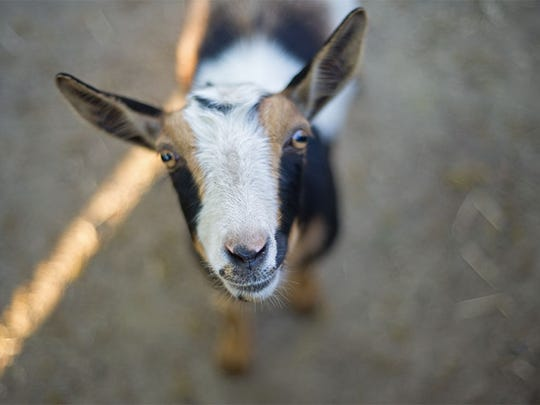 Many major cities, among them San Diego and Seattle, now allow miniature goats as pets.