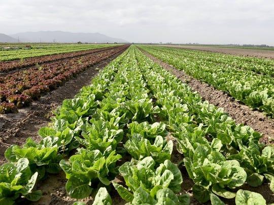 Rows of lettuce are shown on a farm near Oxnard.