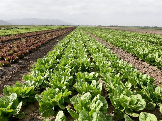 Rows of lettuce are shown on a farm near Oxnard.