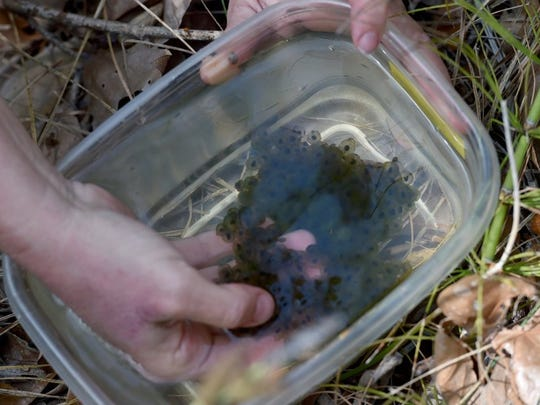 ANTHONY PLASCENCIA/THE STAR A plastic container holds red-legged frog eggs.
