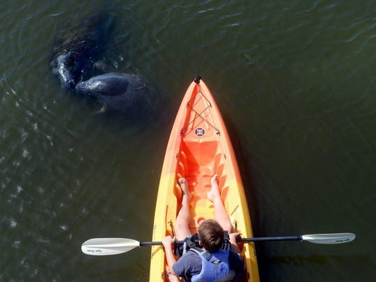 "Andrew Yamasaki looks on as two manatees come to the surface for air in front of his kayak at Round Island Riverside Park in Indian River County. Yamasaki came with his family from New Jersey on vacation. ""The strange thing is that a lot of people don't even know this park exists,"" said Steve Cox, owner and operator of Adventure Kayaking & Paddleboard Tours in Vero Beach. ""This is a great park to come and see wildlife but the main thing to remember is to give the animals their space. If a manatee swims up to you, be sure to keep your hands to yourself and let them do their thing."" Manatees choose Round Island because of the relative safety from motor boats and the large bed of sea grass in the area."