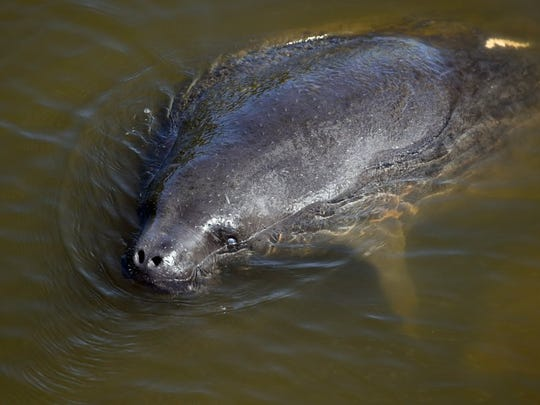 Manatees often can be seen in coves around Round Island and come up to investigate vessels in the water.