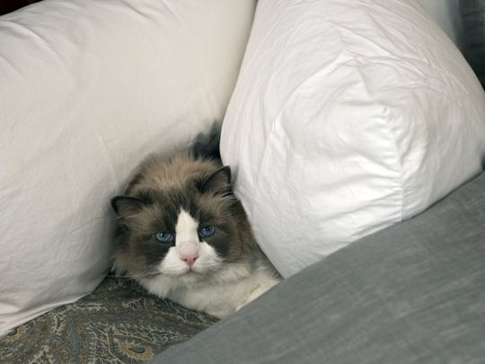 Chopin, one of two Ragdoll cats in the home, snuggles among the pillow in the master bedroom.