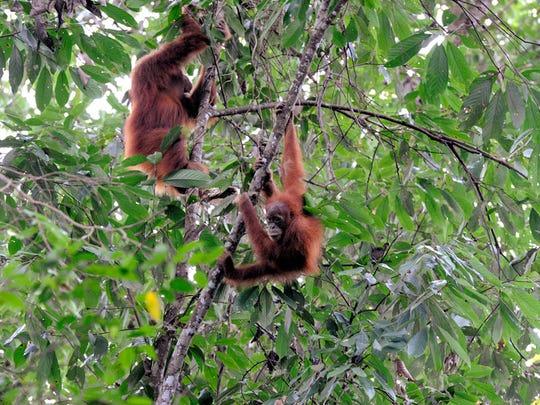Orangutan seriously injures zoo volunteer during feeding session
