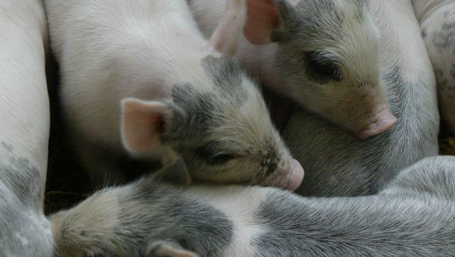 Baby pigs born on a farm
