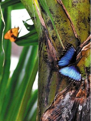 Different kinds of butterflies, including this male blue Morpho peleides (top), are on display at Wings of Wonder.