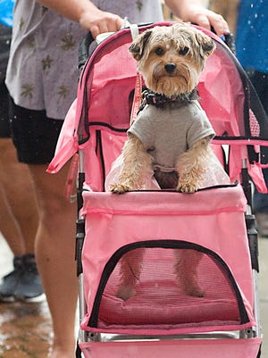 Marsha, a 3-year-old Yorkie owned by Lauren Higgins, waits patiently in the rain Saturday during the Umbrella Alley Pet Photo Day in Louisville.