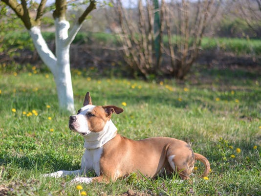 American Staffordshire Terrier In Nature