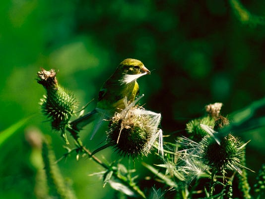 goldfinch & thistle