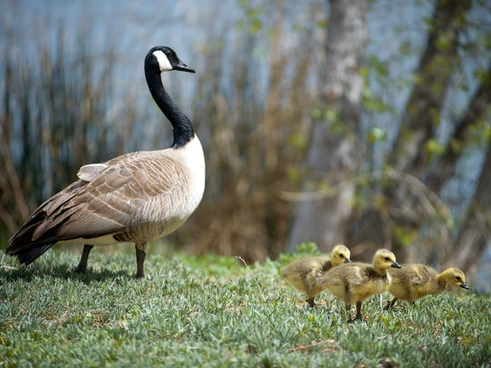 A Canada goose takes its babies for a stroll in City Park in Fort Collins.