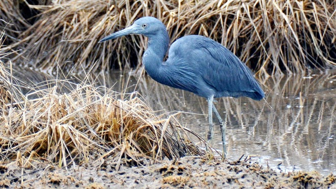 An adult little blue heron was photographed at Hammonasset Beach State Park.