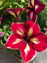 Crazytunia Mandeville, found at Parmentier's in Bellevue, will get a prime spot in a pot to show off.