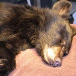 X-rays showed the 4-month-old cub suffered a fractured leg but was otherwise in good health.