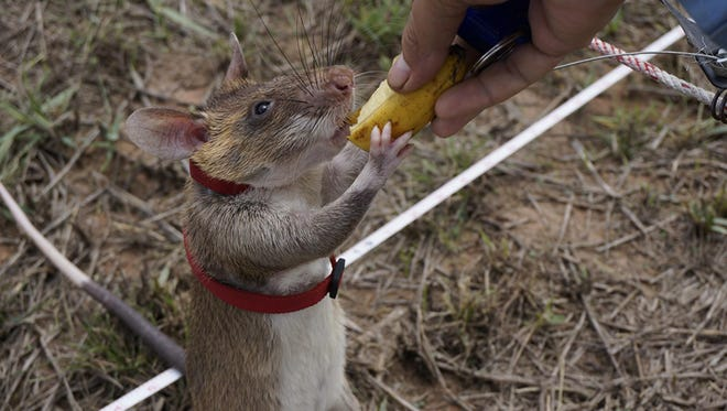 Pit is one of 15 African giant pouched rats who have been trained to detect landmines by Belgian non-profit organization APOPO.
