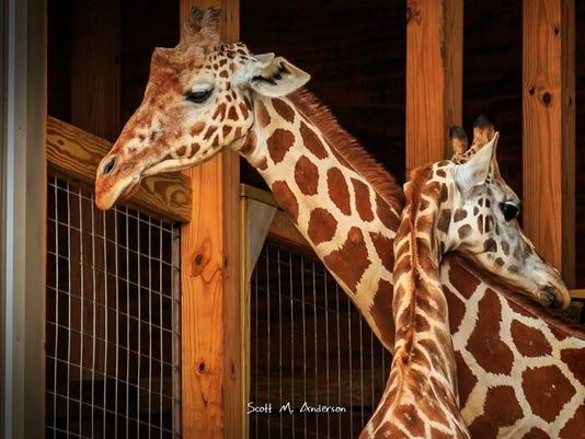 635785448054957412-AnimalAdventureBuzzGiraffe