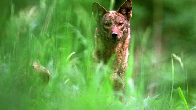 A coyote peers through the high grass in the Cuyahoga Valley National Park.